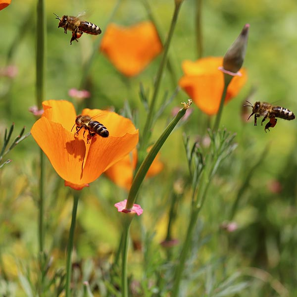 Bees love poppies & wild flowers. Don't forget that they need water to drink, particularly on hot days
