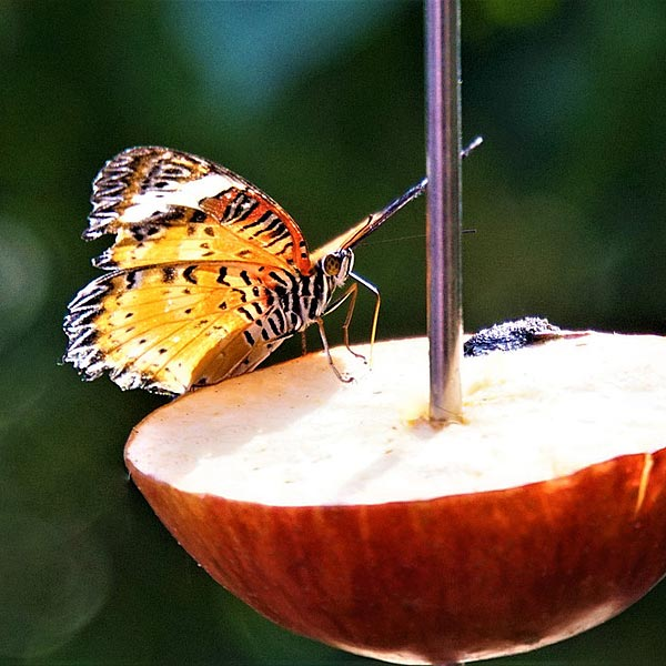 Butterflies will enjoy ripe fruit drizzled with sugar solution