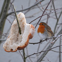 A robin with fresh bread in a tree