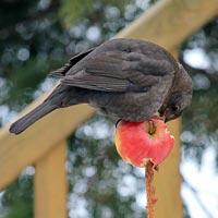Apple feeders are very popular with blackbirds
