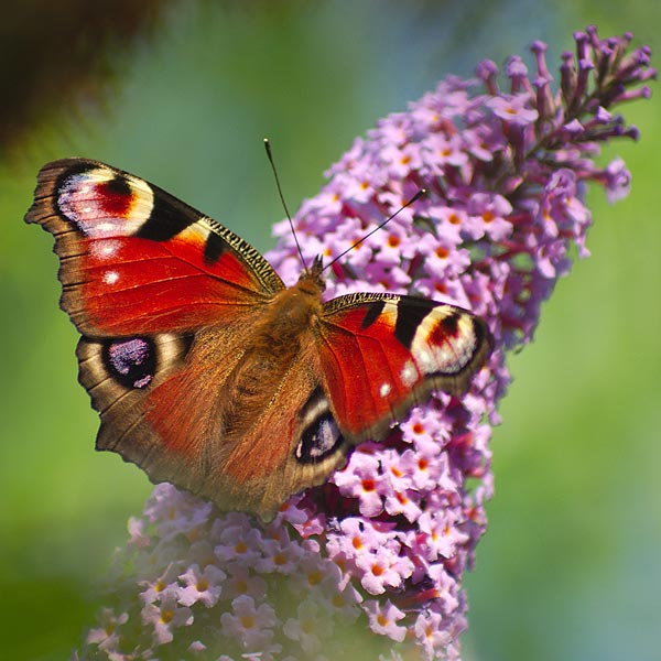 Buddleia is extremely popular with butterflies