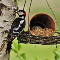 A Greater Spotted Woodpecker