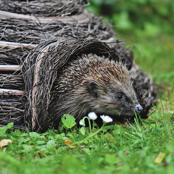 Hedgehogs need somewhere warm and dry to hibernate over winter