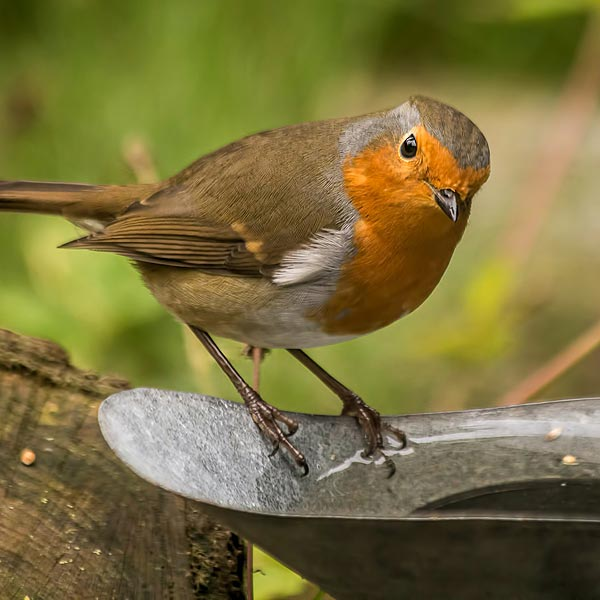 Robin enjoying a makeshift watering hole
