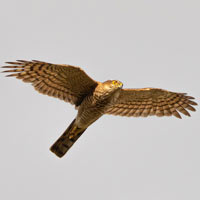 Sparrowhawk - a bird of prey